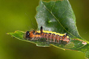 Grey Dagger (Acronicta psi) caterpillar spinning silk on Oak leaf ready to pupate. Hertfordshire, UK, July. - Andy Sands