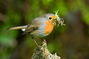 Robin (Erithacus rubecula) with moss nesting material. Hertfordshire, UK, March. - Andy Sands