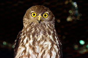 Barking / Winking Owl (Ninox connivens) has a characteristic loud and remarkably dog-like double bark, Australia.  -  Visuals Unlimited