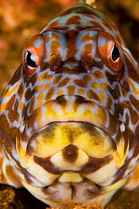 Face of the Stocky Hawkfish (Cirrhitus pinnulatus), a species that can reach nearly 12 inches in length and is common is shallow waters of Hawaii, USA. - Visuals Unlimited