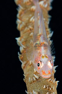 A Goby (Bryaninops yongei) on a Wire Coral (Cirrhipathes anguina), Yap, Micronesia.  -  Visuals Unlimited