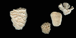 Variation in Scleractinia Stony Coral samples from Bali and the Carribean.  -  Visuals Unlimited