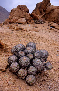 Cacti (Copiapoa cinerascens), Pan de Azucar National Park, Chile.  -  Visuals Unlimited