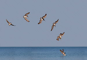 Brown Pelican (Pelecanus occidentalis) diving, Florida, USA, digital composite  -  Visuals Unlimited