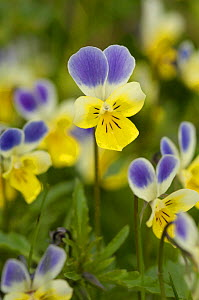 Wild Pansy (Viola tricolor) Hohe Tauern National Park, Austria.  -  Visuals Unlimited