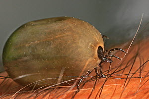 Dog Tick ( Ixodidae) engorged with blood, USA  -  Visuals Unlimited
