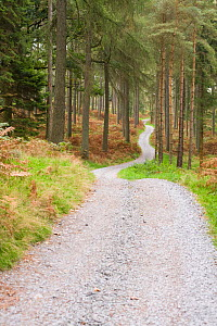 Lane winding into a coniferous plantation above Windermere, Lake District, Cumbria, UK, January 2000 - Visuals Unlimited