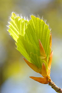 Beech (Fagus sylvatica) leaf bud opening, April - Visuals Unlimited