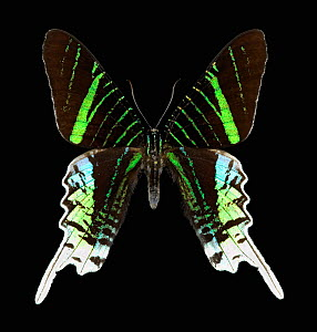 Sunset moth (Urania leilus) a day flying moth from tropical rainforest of South America,  -  Visuals Unlimited