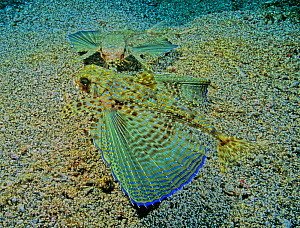 Flying Gurnard (Dactylopterus volitans) showing the pectoral fin display, Caribbean - Visuals Unlimited