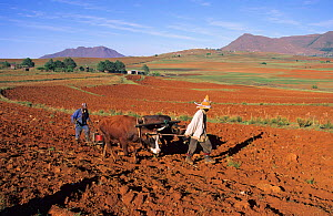 Farmers planting Maize with oxen, Malealea, Lesotho, S Africa  -  Visuals Unlimited