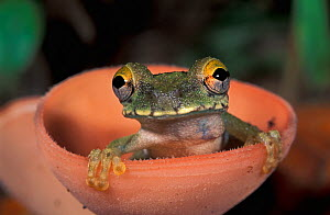 Treefrog (Osteocephalus buckleyi) perched sitting in a cup mushroom, Tambopata Candamo Reserve, Peru - Visuals Unlimited