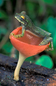Treefrog (Osteocephalus buckleyi) perched on a cup mushroom, Tambopata Candamo Reserve, Peru  -  Visuals Unlimited
