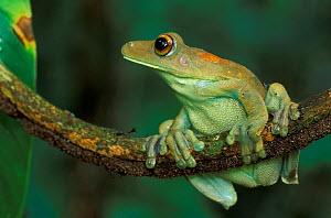 Map Tree Frog (Hyla geographica) perched on a branch, Tambopata Candamo Reserve, Peru - Visuals Unlimited