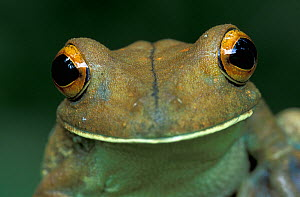 Close up of the head and eyes of the Map tree frog (Hyla geographica), Tambopata Candamo Reserve, Peru - Visuals Unlimited