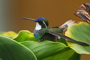 Grey-tailed mountain gem hummingbird (Lampornis cinereicauda), Cierro La Muerte, Costa Rica  -  Visuals Unlimited
