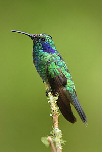 Green violetear hummingbird (Colibri thalassinus), Cierro La Muerte, Costa Rica  -  Visuals Unlimited