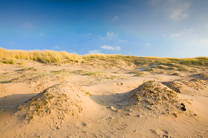 Coastal sand dunes with Marram Grass (Ammophila) for stabilization at Sandscale Haws near Barrow in Furness, Cumbria, UK, December 2008 - Visuals Unlimited