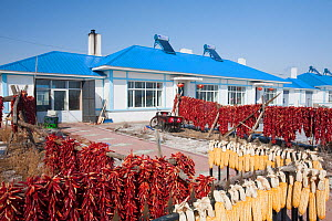 Many housing complexes in Northern China have solar water heaters on their roofs, such as these on the outskirts of Suihua. Note the drying agricultural products, such as red Chili peppers and Corn. M... - Visuals Unlimited