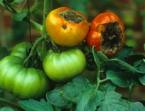 Blossom end rot on Tomatoes, a calcium deficiency symptom  -  Nigel Cattlin