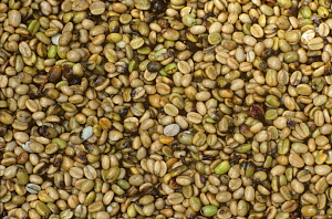 Coffee beans after grading, damaged by the Coffee berry borer (Hypothenemus hampei), Tanzania - Visuals Unlimited