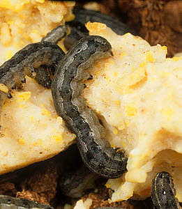 Cotton leafworm (Spodoptera littoralis) caterpillars eating an artificial diet in a research lab  -  Nigel Cattlin