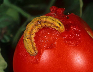 Tomato fruitworm (Helicoverpa armigera) caterpillar, coloured orange from feeding on a Tomato fruit  -  Nigel Cattlin