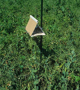 A pheromone trap in a Pea field for trapping adult male Pea moths (Cydia nigricana) - Visuals Unlimited