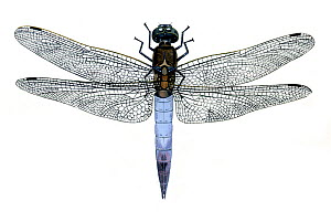 Illustration of Black-tailed Skimmer (Orthetrum cancellatum), Libelluidae. Endemic to Europe.  -  Chris Shields