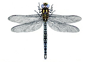 Illustration of Hairy Dragonfly / Hawker (Brachytron pratense), Aeschnidae. Endemic to Europe.  -  Chris Shields