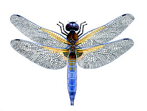 Illustration of Black-tailed Skimmer Dragonfly (Orthetrum cancellatum), Libelluidae. Endemic to Europe.  -  Chris Shields