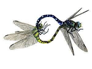 "Illustration of mating pair of Sedge Darner / Common Hawker (Aeshna juncea),Aeshnidae. The male and female form a mating wheel""""; the female is to the left. Endemic to Eurasia. North America.  -  Chris Shields"