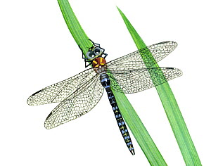 Illustration of Migrant Hawker (Aeshna mixta), Aeshnidae. Endemic to North Africa and Europe. - Chris Shields