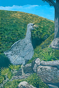 Illustration of Rodrigues Solitaire (Pezophaps solitaria),Columbidae,male calling over the the Anse Quitor Valley,Rodrigues, Mauritius. Extinct since 1761. Flightless member of pigeon family and close... - Julian Hume