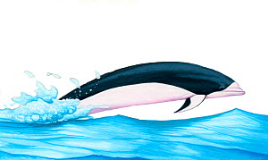 Illustration of Southern Rightwhale Dolphin (Lissodelphis peronii) jumping (Wildlife Art Company).  -  Martin Camm / Carwardine