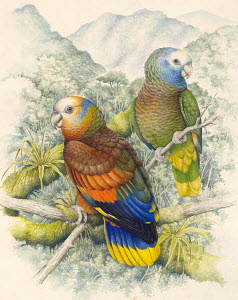 Illustration of two St Vincent Amazon Parrots (Amazona guildingii), Psittacidae, perched in mountain forest habitat. Endangered / threatened species.  -  Robin Budden (WAC)