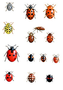 Illustration of British native ladybirds.  From top left to right: Sixteen or 16-spot ladybird (Tytthaspis 16-punctata); Thirteen or 13-spot ladybird (Hippodamia 13-punctata); Bryony ladybird (Epilach...  -  Chris Shields