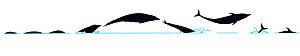 Illustration of Northern Rightwhale Dolphin (Lissodelphis borealis), dive and jump sequence in profile (Wildlife Art Company). - Martin Camm / Carwardine