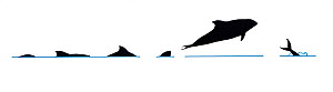 Illustration of Pacific White-Sided Dolphin (Lagenorhynchus obliquidens), dive and jump sequence in profile (Wildlife Art Company).  -  Martin Camm / Carwardine