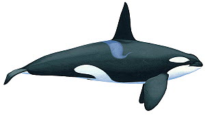 Illustration of Killer Whale / Orca / Sea Wolf / Blackfish (Orcinus orca) male, Delphinidae; the largest member of the dolphin family. There are up to five distinct killer whale types, some populatio...  -  Martin Camm / Carwardine