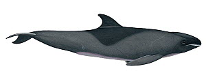 Illustration of Melon-headed Whale / Little Killer Whale / Many-Toothed Blackfish / Electra Dolphin (Peponocephala electra), Delphinidae (Wildlife Art Company).  -  Martin Camm / Carwardine