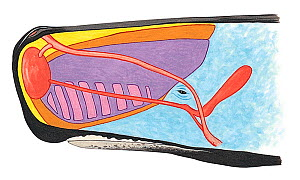 Illustration of Sperm Whale (Physeter macrocephalus), cross-section of head showing spermaceti organ (purple) and spermaceti (pink) (Wildlife Art Company). - Martin Camm (WAC)