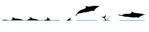Illustration of Pantropical Spotted Dolphin (Stenella attenuata), dive and jump sequence in profile (Wildlife Art Company). - Martin Camm / Carwardine
