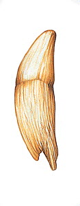 Illustration of tooth of Sperm Whale / Cachalot (Physeter macrocephalus). Threatened / endangered species (Wildlife Art Company).  -  Martin Camm / Carwardine