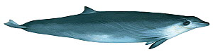 Illustration of True's beaked whale (Mesoplodon mirus)  female, Ziphidae (Wildlife Art Company).  -  Martin Camm / Carwardine