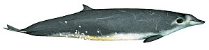 Illustration of True's beaked whale (Mesoplodon mirus) male, Ziphidae (Wildlife Art Company).  -  Martin Camm / Carwardine