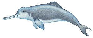 Illustration of Yangtze River Dolphin / Chinese River Dolphin / Baiji (Lipotes vexillifer), Lipotidae; declared extinct in 2007 (Wildlife Art Company).  -  Martin Camm / Carwardine