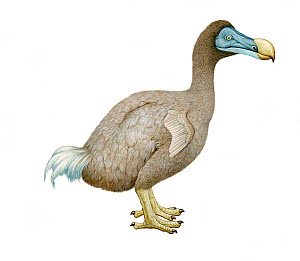 Illustration of Dodo (Raphus cucullatus), Columbidae, endemic to Mauritius. Extinct since the mid to late 17th century (Wildlife Art Company).  -  Martin Camm / Carwardine