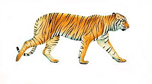 Illustration of Javan Tiger (Panthera tigris), which inhabited the Indonesian island of Java and was one of the three subspecies limited to islands. This subspecies became extinct in the 1980s. (Wildl... - Martin Camm (WAC)