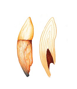 Illustration of cetacean tooth to show growth rings. Growth rings on right, original tooth with root on left (Wildlife Art Company).  -  Martin Camm / Carwardine